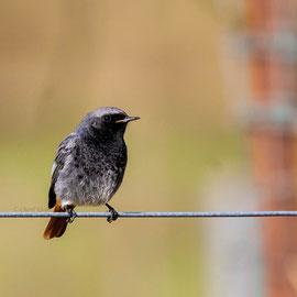 Hausrotschwanz | Black Redstart       (Phoenicurus ochruros)