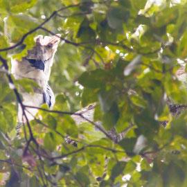 Harpyie  |  Harpy Eagle (Harpia harpyja) -- Peru / Centro De Rescate Taricaya