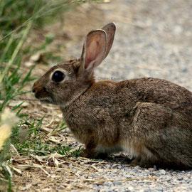 Wildkaninchen / Common rabbit     (Oryctolagus cuniculus)