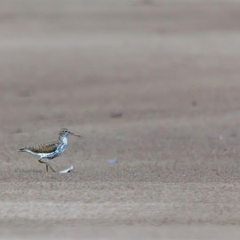 Drosseluferläufer  |  Spotted Sandpiper (Actitis macularius)  -- Peru / Centro De Rescate Taricaya