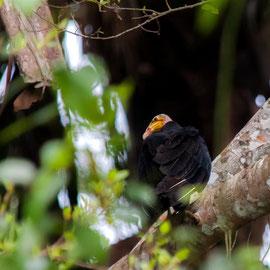 Kleine Gelbkopfgeier   |   Lesser Yellow-headed Vulture (Cathartes burrovianus)   -- Peru / Centro De Rescate Taricaya