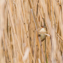 Schilfrohrsänger   |  Sedge Warbler     (Acrocephalus schoenobaenus)Schilfrohrsänger   |  Sedge Warbler     (Acrocephalus schoenobaenus)
