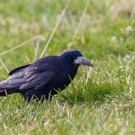 Saatkrähe | Rook   (Corvus frugilegus)