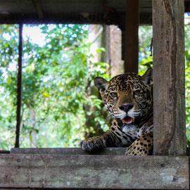 Jaguar  |  Jaguar (Panthera onca) -- Peru / Centro De Rescate Taricaya
