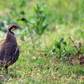 Rothuhn  |  Red-legged Partridge (Alectoris rufa) -- Camargue / France