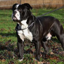 Continental bulldog jeany
