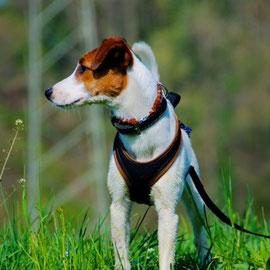 Kim: Parson Russel Terrier
