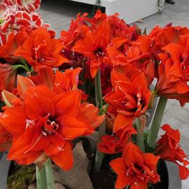 Amaryllis Sehenswürdigkeit  Blumenfestival Keukenhof Holland Frühlingsblüten
