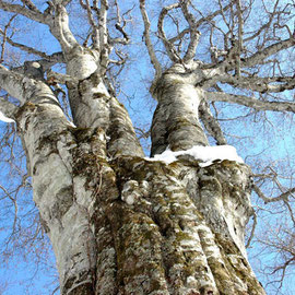 ブナ 冬の「森の神」(十和田市)