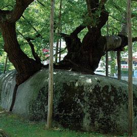 石割り桜(盛岡市)