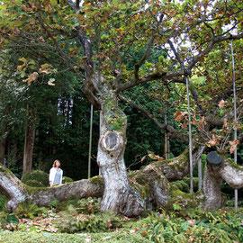 勝源院の逆さカシワ(紫波町)