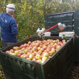 Der Kistenwagen bei der Apfelernte