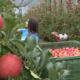 Frucotec Ernewagen Apfelernte Pink Lady