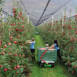 Apfelpflücken mit Frucotec Ertemaschine
