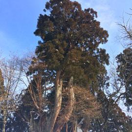 「伏条台杉」静寂な雪の中の神秘の森、散歩するお姿