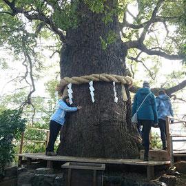 新熊野神社の「樟」 おなかの神様
