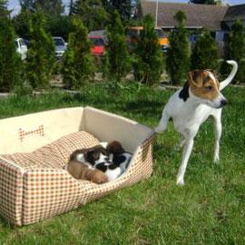 Danish-Swedish-Farmdog-dänischer Bauernhund-dänischer Landhund