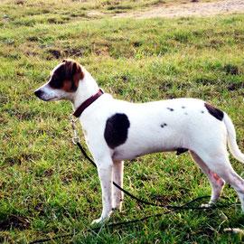 Dänisch-schwedischer Hofhund Eckat-Belmondo