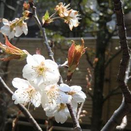 もう葉桜になりそうなサクランボの花