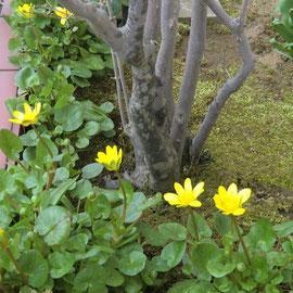 自然に咲いてくれるヒメリュウキンカ