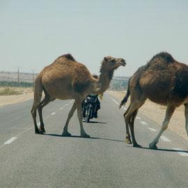 ....es folgt die Vollbremsung und lautes Gefluche auf Arabisch. Wie clever sind eigentlich Kamele ??