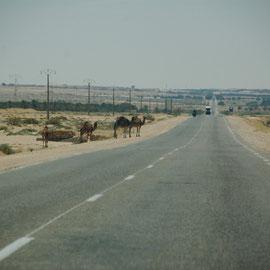 .....die Kamele machen sich bereit.......