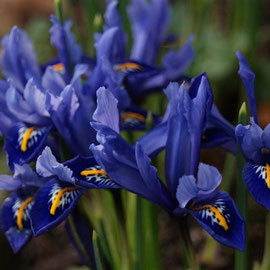 Iris retuculata 'Harmony'