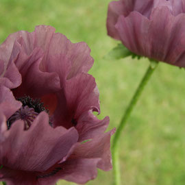 Papaver 'Patty's Plum'