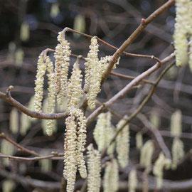 Salix catkins