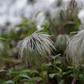 Clematis tangutica seed heads