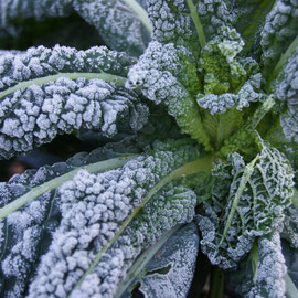 frosted cavolo nero
