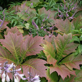 Rodgersia podophylla, hebe and hosta