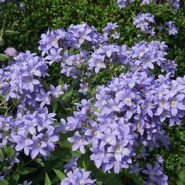 Campanula lactiflora 'Pritchard's Variety'