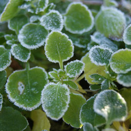 frosted viola leaves