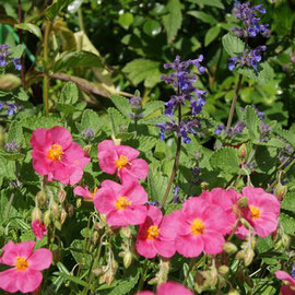 Helianthemum 'Ben More' and Nepeta faassennii