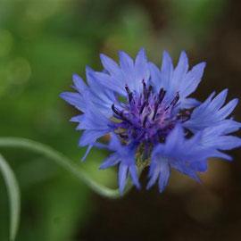 Centaurea cyanus ( cornflower )