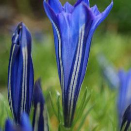 Gentiana 'Cobalt Blue'