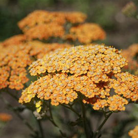Achillea fillipendula