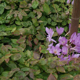 Epimedium and Colchicum