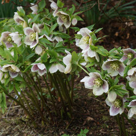 Helleborus orientalis subsp guttatis