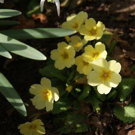 Primula spp