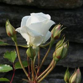 Rosa 'Iceberg'