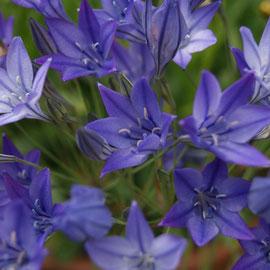 Triteleia blue 4U