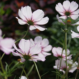 Cosmos 'Candy Stripe'