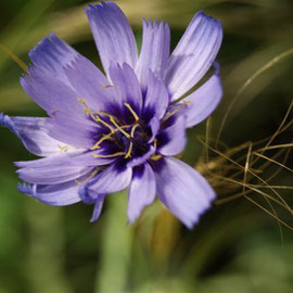 Catananche caerulea