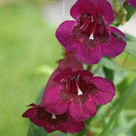 Penstemon 'Vesuvius'