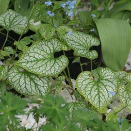 Brunnera macrophylla' Jack Frost'