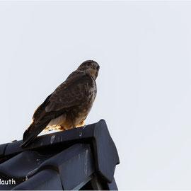 Dieser MÄUSEBUSSARD (BUTEO BUTEO) saß, von mir sich nicht gestört gefühlt, auf einem Dachgiebel. Tolle Gegenlichtaufnahme.