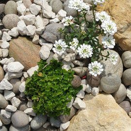 iberis and erigeron