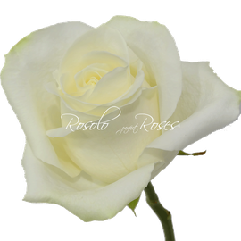Rose Polar-Star